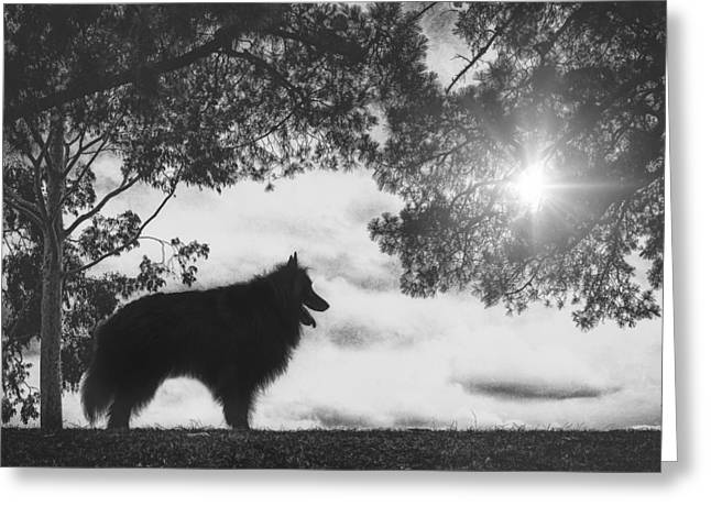 Working Dog Greeting Cards - Silhouette of a Belgian Sheepdog Greeting Card by Wolf Shadow  Photography