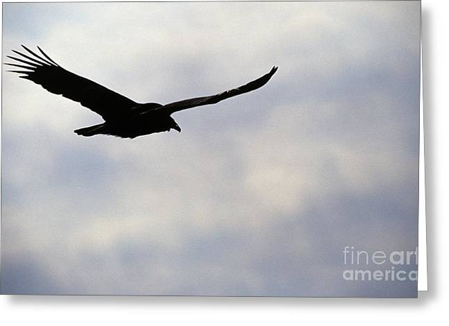 Vulture Silhouettes Greeting Cards - Silhouette of a turkey vulture  Greeting Card by Erin Paul Donovan