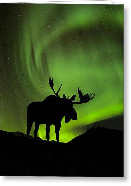 Snowy Night Greeting Cards - Silhouette Of Moose With Green Aurora Greeting Card by John Hyde