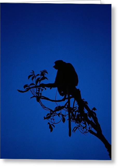 Borneo Island Greeting Cards - Silhouetted Proboscis Monkey Nasalis Greeting Card by Mattias Klum