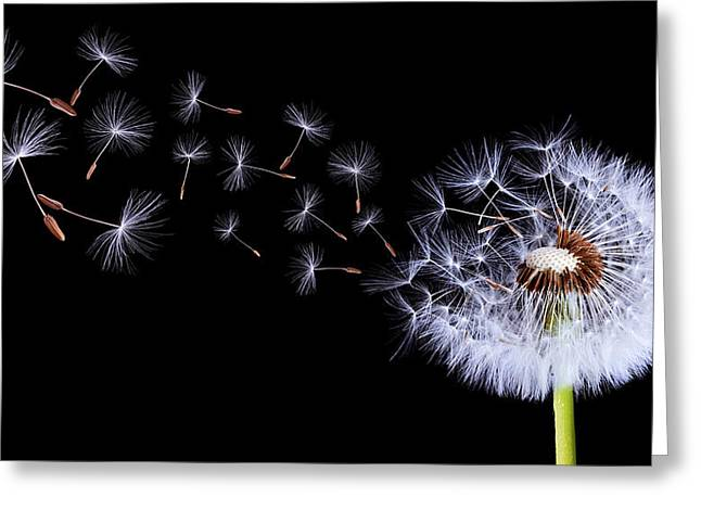 Silhouettes Of Dandelions Greeting Card by Bess Hamiti
