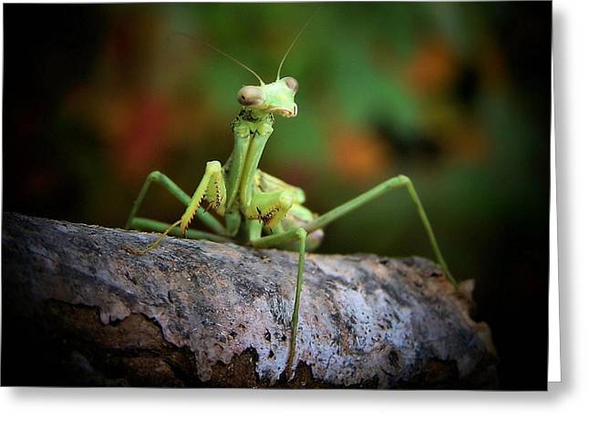 Mantis Greeting Cards - Silly Mantis Greeting Card by Karen M Scovill