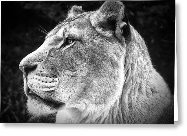 Lioness Greeting Cards - Silver Lioness  Greeting Card by Chris Boulton