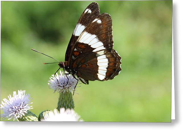 Silver Spotted Skipper Greeting Card by  Judy Bernier