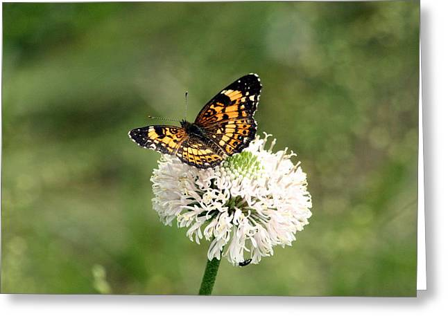 Silvery Checkerspot Butterfly On Wildflower Greeting Card by Sheila Brown