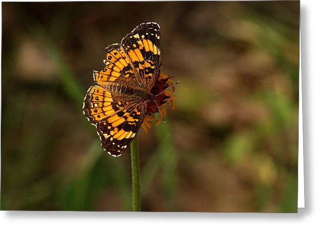Silvery Checkerspot Butterfly Greeting Card by Sheila Brown