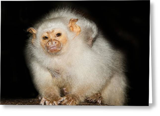 Caring Mother Greeting Cards - Silvery Marmoset Female Greeting Card by Gerard Lacz