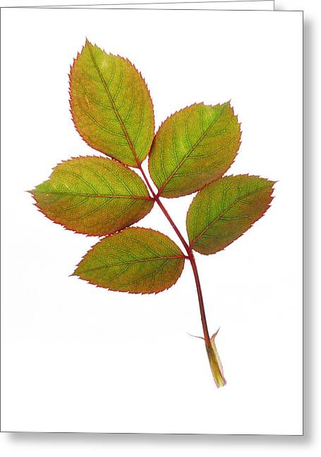 Leaves Photographs Greeting Cards - Simple And Beautiful Greeting Card by Panos Trivoulides