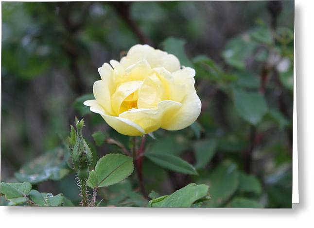 Cellphone Greeting Cards - Simple_Yellow_Rose Greeting Card by Cynthia Kirby