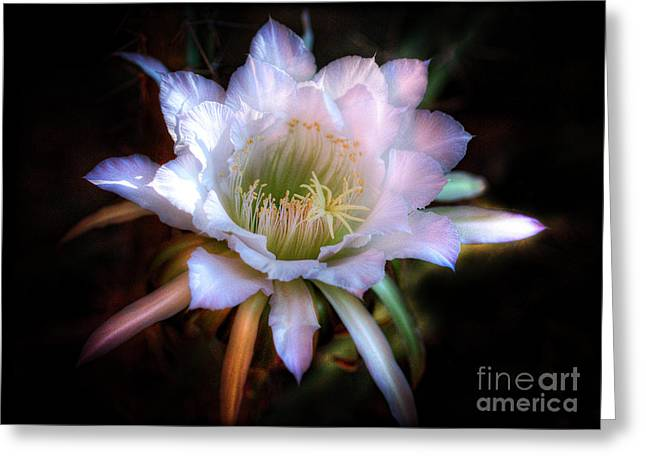 White Cactus Flower Greeting Cards - Simply Stunning Greeting Card by Saija  Lehtonen