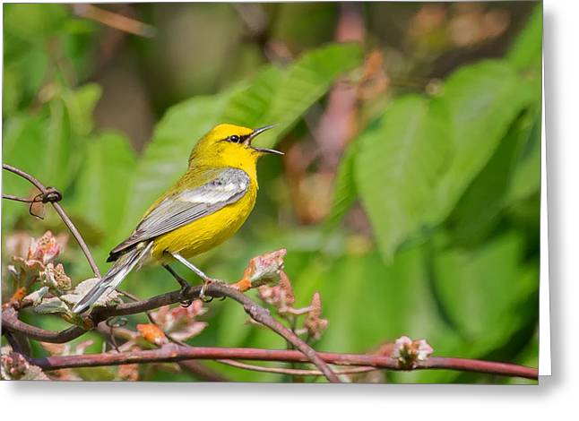 Warbler Greeting Cards - Singing Blue WInged Warbler Greeting Card by Bill Wakeley