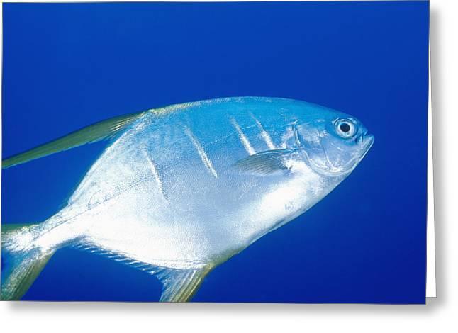 Pompano Greeting Cards - Single Pelagic Gafftopsail Pampanofish Greeting Card by James Forte