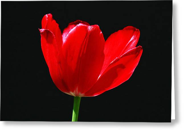 Flower Blossom Greeting Cards - Single Red Tulip on Black Greeting Card by Allen Beatty