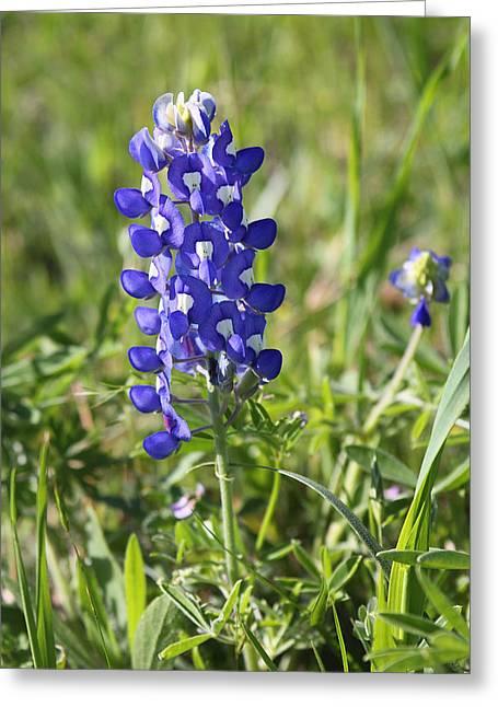 Single Texas Blue Bonnet Greeting Card by Linda Phelps