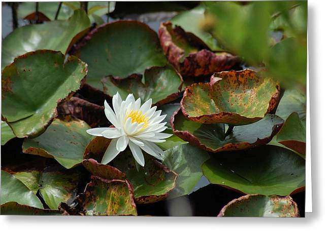 Crimson Tide Photographs Greeting Cards - Single Water Lilly  Greeting Card by Michael Thomas
