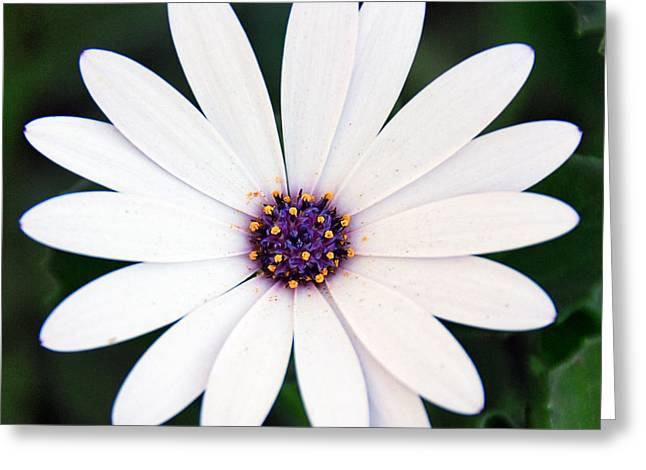 Single White Daisy Macro Greeting Card by Georgiana Romanovna