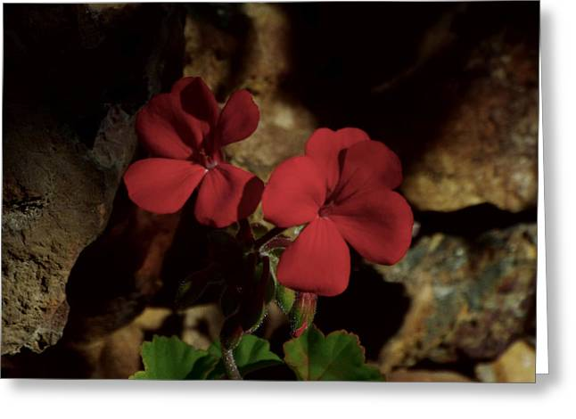 Red Geraniums Greeting Cards - Sisters Greeting Card by Kathy Franklin