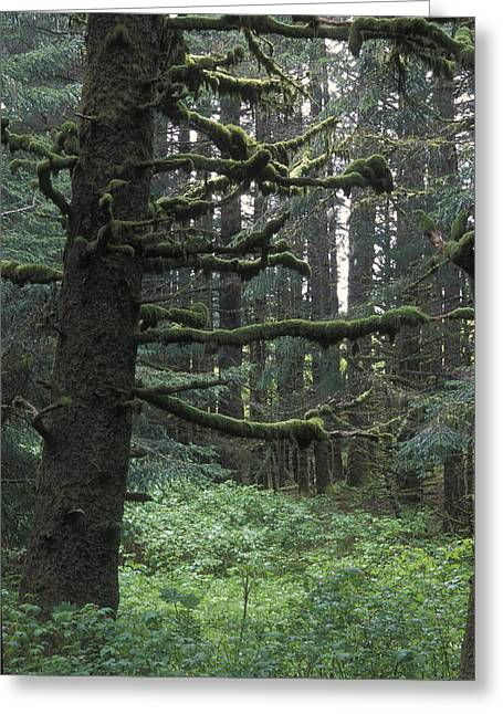 Sitka Greeting Cards - Sitka Spruce Forest At Fort Abercrombie Greeting Card by Rich Reid