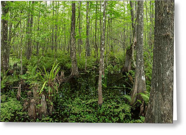 Six Mile Cypress Slough Preserve Greeting Card by Panoramic Images