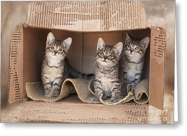 Cardboard Greeting Cards - Six week old brown rescue tabby kittens playing in cardboard box Greeting Card by Kelly Richardson