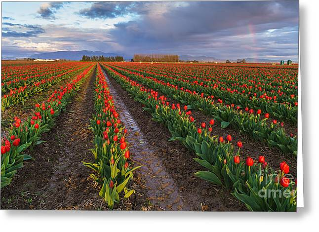 Mount Vernon Greeting Cards - Skagit Tulip Fields Red Rows And Rainbow Greeting Card by Mike Reid