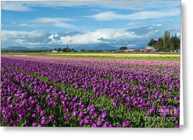 Skagit Valley Greeting Cards - Skagit Tulip Storm Greeting Card by Mike Dawson