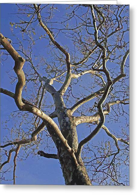 Skeletal London Plane Tree In The Winter Light Greeting Card by Brian Shaw