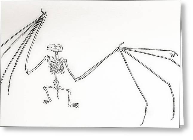 Support Drawings Greeting Cards - Skeleton Of A Bat, Vespertilio Murinus Greeting Card by Ken Welsh