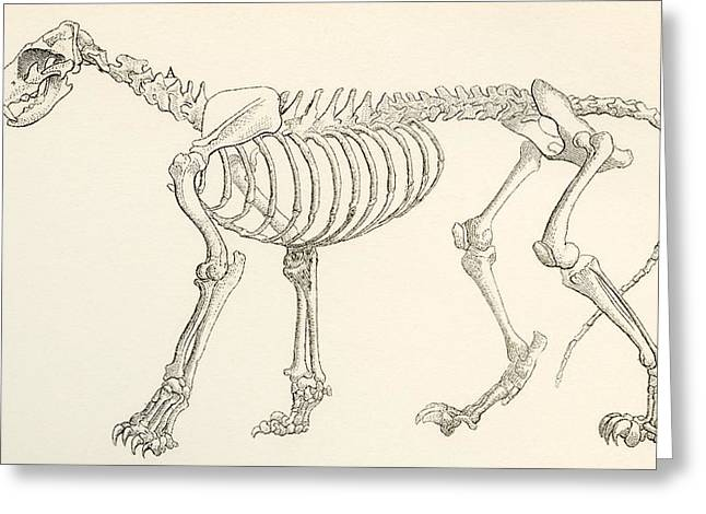 Support Drawings Greeting Cards - Skeleton Of A Lion, Panthera Leo. From Greeting Card by Ken Welsh