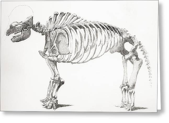 Support Drawings Greeting Cards - Skeleton Of A Mastodon, An Extinct Greeting Card by Ken Welsh