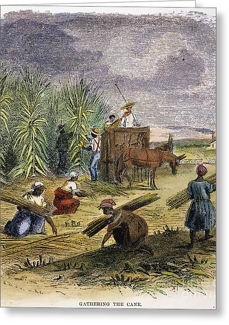 Slaves Greeting Cards - Slaves Gathering Sugar Cane Greeting Card by Granger