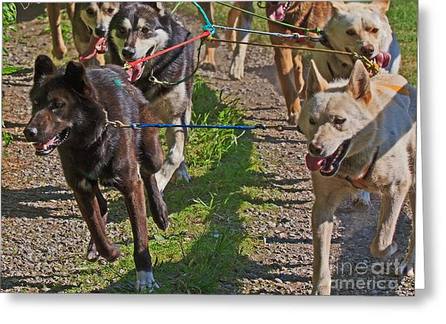 Wasilla Greeting Cards - Sled Dogs Greeting Card by Robert Pilkington
