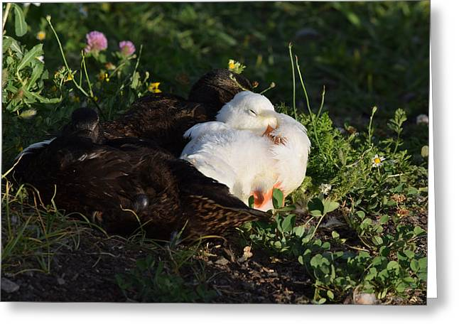 Ducklings Greeting Cards - Sleep Beckons Greeting Card by Bonnie Bruno