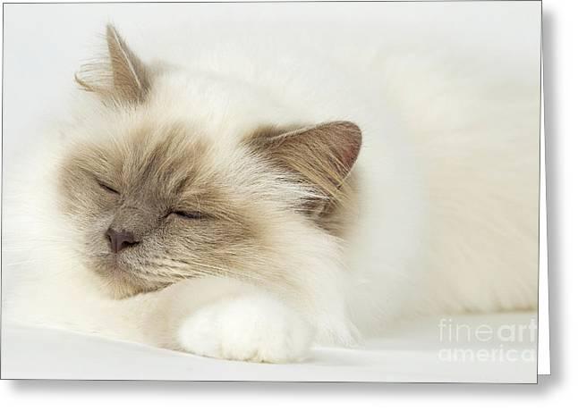 Cats Birman Greeting Cards - Sleeping Birman Cat Greeting Card by Jean-Michel Labat