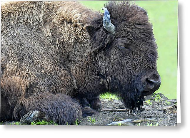 Berry Greeting Cards - Sleeping Bison Greeting Card by Diane E Berry