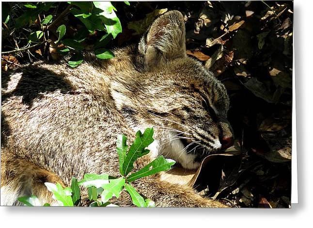 Bobcats Greeting Cards - Sleeping Bob Cat Greeting Card by J M Farris Photography