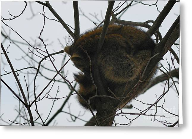Randolph County Greeting Cards - Sleeping Coon Greeting Card by Randy Bodkins
