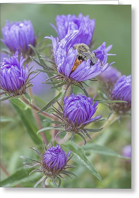 Aster Greeting Cards - Sleeping In My Asters Greeting Card by Thomas Young