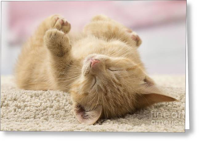 Cat On Back Greeting Cards - Sleeping Kitten Greeting Card by Jean-Michel Labat