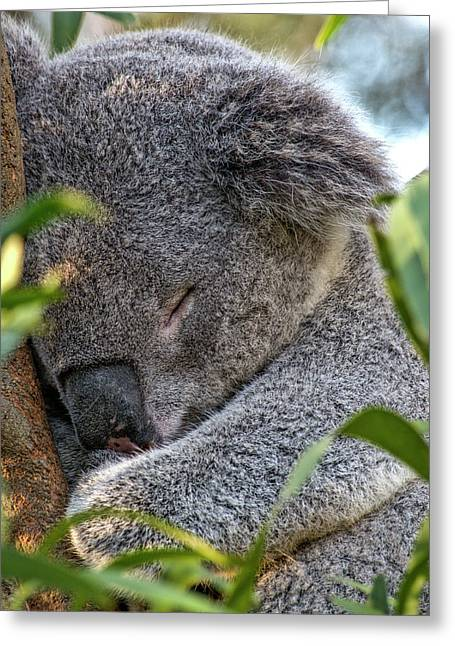 Sleeping Koala - Canberra - Australia Greeting Card by Steven Ralser