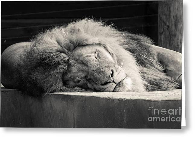Lions Greeting Cards - Sleeping Lion 1 Greeting Card by Marcin Rogozinski