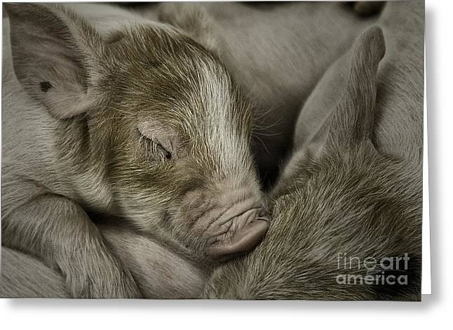 Piglets Greeting Cards - Sleeping Piglet Greeting Card by Brad Allen Fine Art Photography