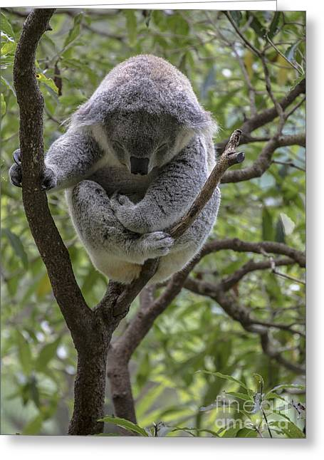 Sleepy Koala Greeting Card by Avalon Fine Art Photography