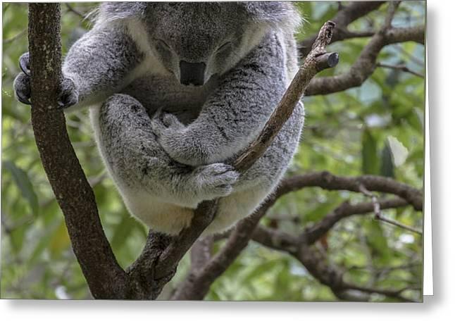 Sleepy koala Greeting Card by Sheila Smart