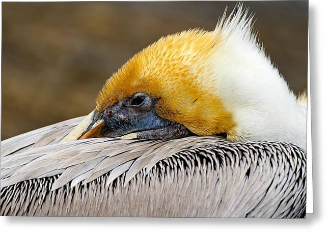 Print Photographs Greeting Cards - Sleepy Pelican Greeting Card by Brian Hamilton