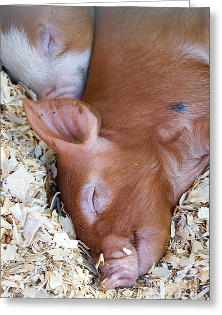 Piglets Greeting Cards - Sleepy piglets Greeting Card by Jennifer Booher