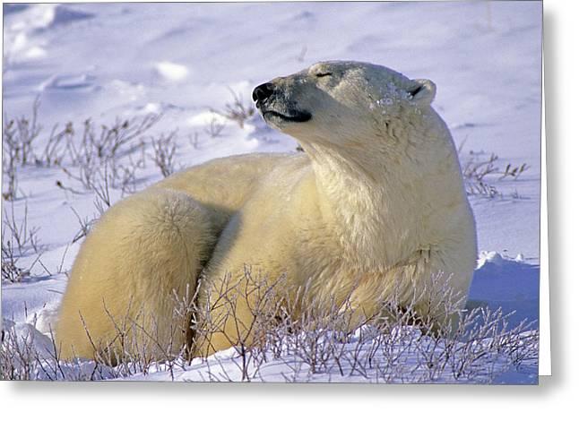 Slumbering Greeting Cards - Sleepy Polar Bear Greeting Card by Tony Beck