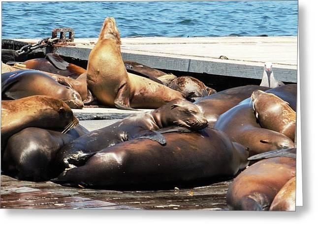Sea Lions Greeting Cards - Sleepy Seals Greeting Card by Sheetal Joseph