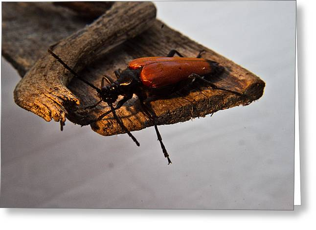 Best Sellers -  - Pause Greeting Cards - Sliding Beetle Greeting Card by Douglas Barnett