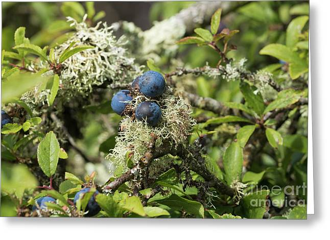 Sloe Berries And Lichen Greeting Card by Terri Waters
